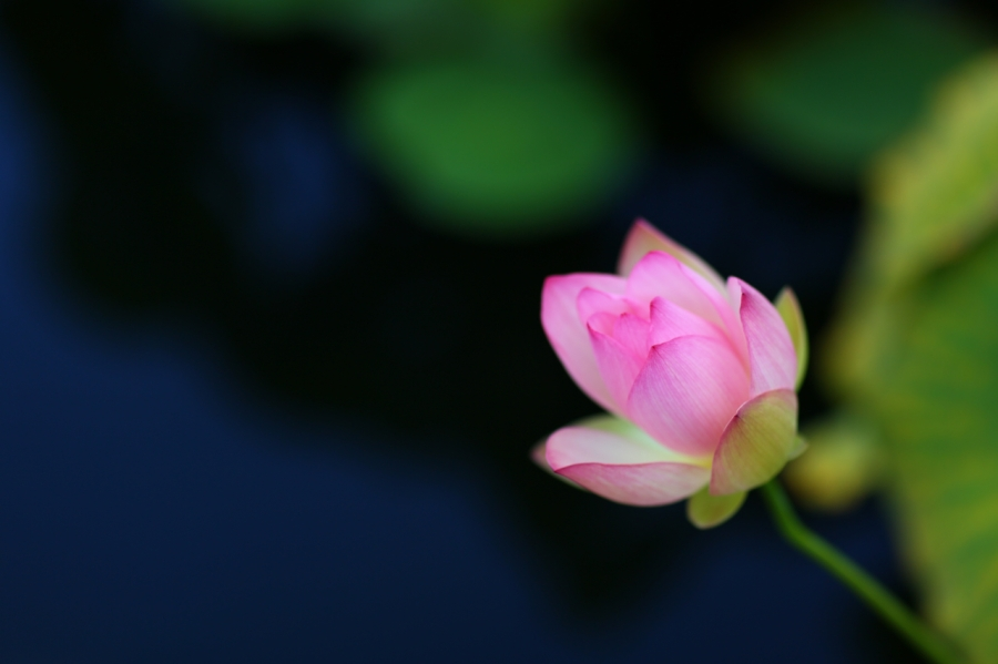 serene flower photo, canon 85mm f1.2 II lens, background blur, bokeh