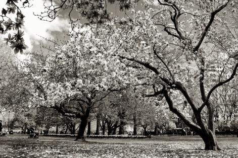 magnolia. Zeiss 35mm f2- Sunday Central Park. f-5.6, 1-500. © Nicholas Vendemia | Vaperture. - 075. 4-27-14