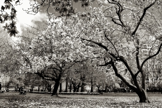magnolia. Zeiss 35mm f2- Sunday Central Park. f-5.6, 1-500. © Nicholas Vendemia | Vaperture. - 075. 4-27-14